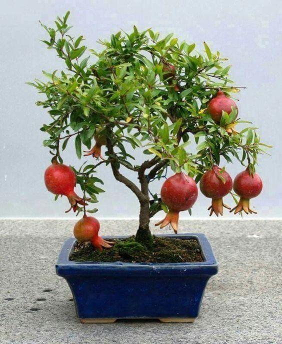 Kit Pomar p/ Vasos Mini Frutas 5 mudas - AMORA, ACEROLA, ABACAXI, CEREJA E ROMÃ, - Jardim Exótico - O maior portal de mudas do Brasil.