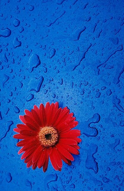 Dark Blue Background Wet With Water And One Red Flower In Lower Left