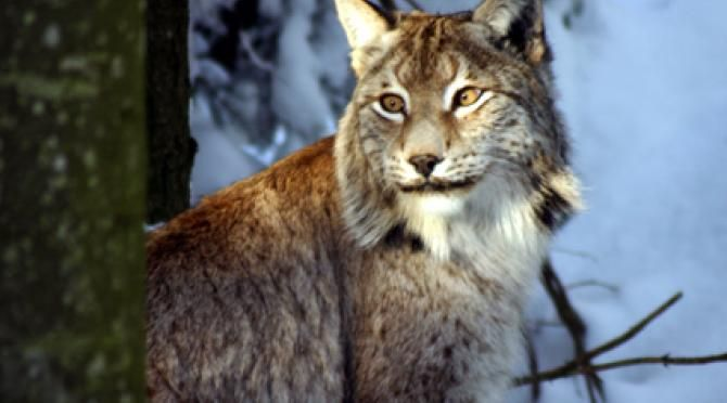 Lynx is among the animals you would be tracking at our project in the mountains of Slovakia