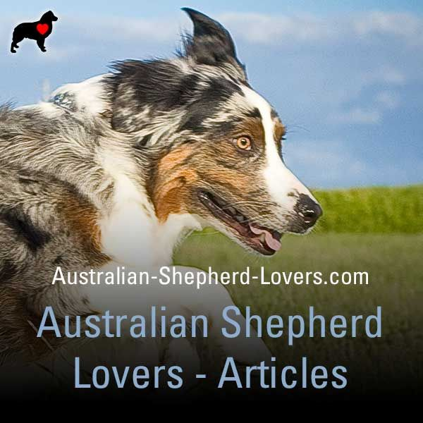Australian Shepherd Information Resources And Community Australian Shepherd Working Dogs Dogs