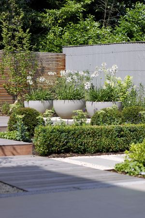 White Agapanthus in planters