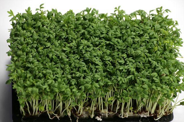 Postrádáte opravdu čerstvé bylinky, zvlášť v zimních měsících? Tuto můžete mít celoročně. Rychle vyroste a má široké využití. Obsahuje velké množství vitamínů a minerálů, které nám chybí obzvlášť právě v zimním období. Má také léčivé účinky, například působí jako přírodní antibiotikum. Pokud vás zajímá pěstování bylinek po celý rok, tato je jedna z nich. Je možné ji pěstovat doslova kdekoliv a kdykoliv. Čtěte více tady.....