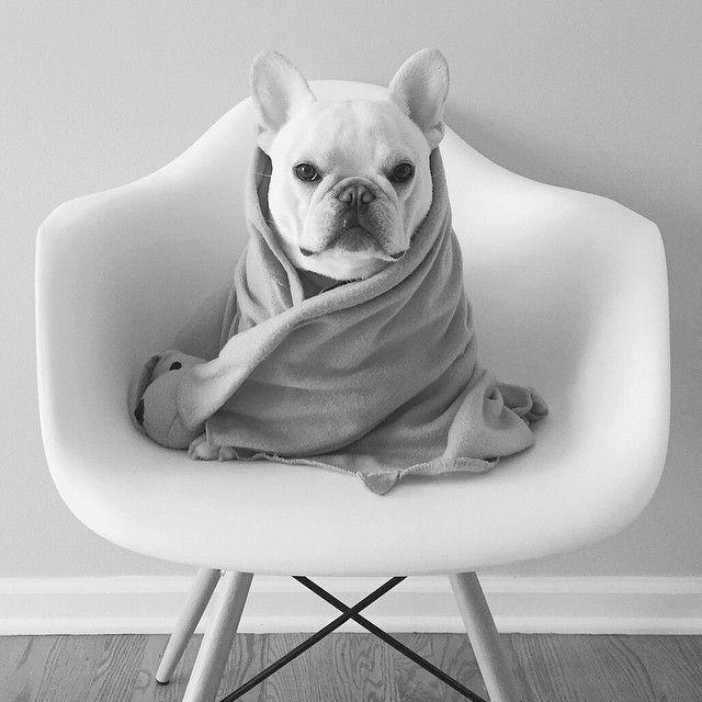 """""Hello, I'm @theobonaparte""  #DogsofInstagram #dog"""