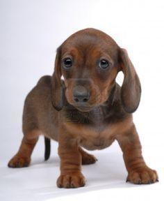 """""""Perro salchicha"""", el Teckel"""