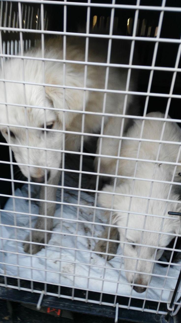 #Tresana: sequestrati tre cani vittime di maltrattamenti. Si tratta di tre pastori maremmani che da adesso possono correre al sicuro e finalmente felici.