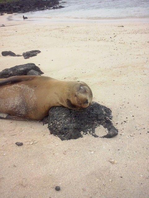 Leoni marini - isola san cristobal - galapagos