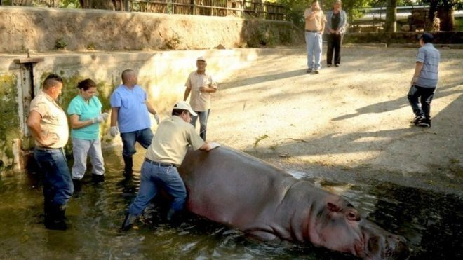 Zoo Hippo Died From Poor Care, Not Beating, Prosecutors Say