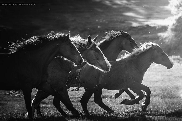 Run - A herd of wild horses runs through a meadow.