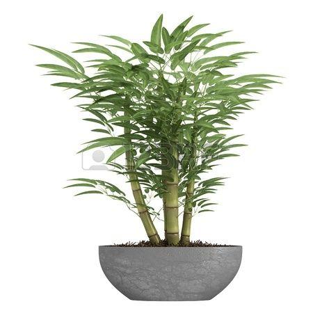 Ornamental bamboe groeit in een container als decoratieve kamerplant ge Stockfoto