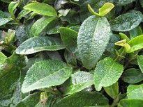 Mascarilla humectante de té verde