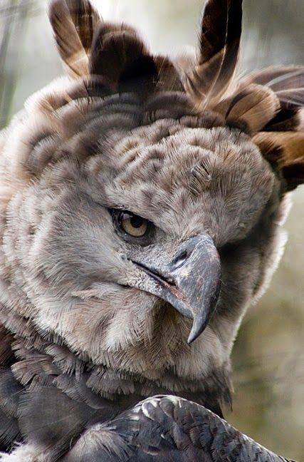 Harpy Eagle ~ these raptors can sit (awake) for almost 24 hours stalk still