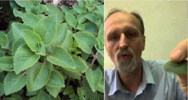 Grâce à la plante «VapoRub », vous pouvez traiter facilement la sinusite et l'asthme et renforcer votre cœur !