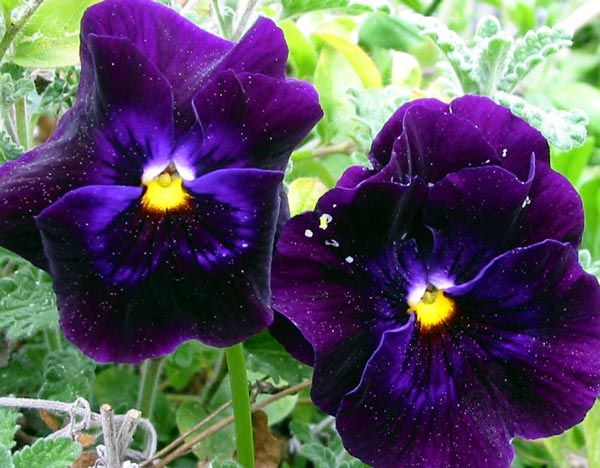 Purple Daffodil Flower Picture | Gardening could become an obsession...