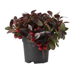 Растения, кашпо и подставки - Засушенные цветы и отдушки - IKEA