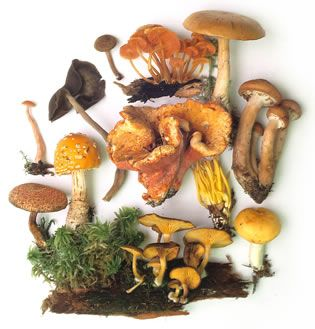Rogers Mushrooms | Mushroom Pictures & Mushroom Reference (huge list, in alphabetical order, by latin name)
