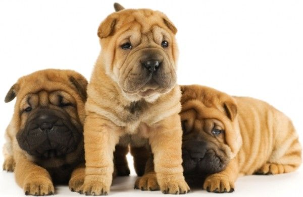 If you know me, you know I absolutely love wrinkly dogs...weird, yes, I know. That being said, I want three Shar Pei puppies--one named Toby, another named Teddy, and the last one named Bear <3