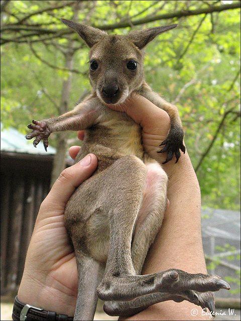 Kangaroo baby <3