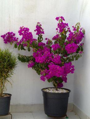 Como plantar primavera - Buganvília - umComo