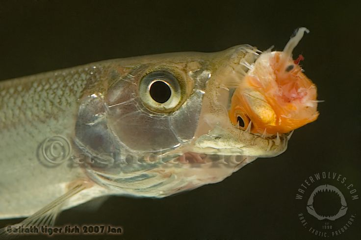 Baby goliath tigerfish enjoying a snack awesomely for Tiger fish pictures