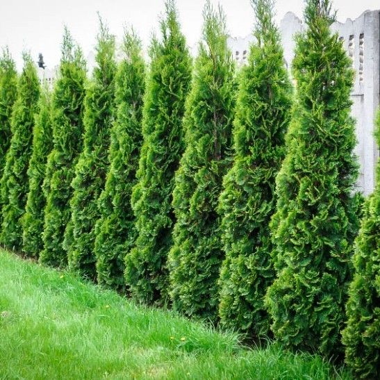Thuja green giant privacy screen in garden tall ones for Green privacy fence ideas