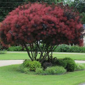 Royal Purple Smoketree - Cotinus coggyrgria 'Royal Purple'