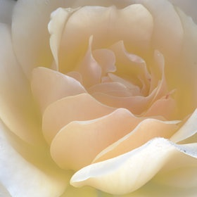 ah wow, what a photo: Rose Macros, Intimate Rose, Gorgeous White, Gardens Inspiration, Beautiful Flowers, Pasquero Flowers, Beautiful Plants, Flowers Rose, Photo