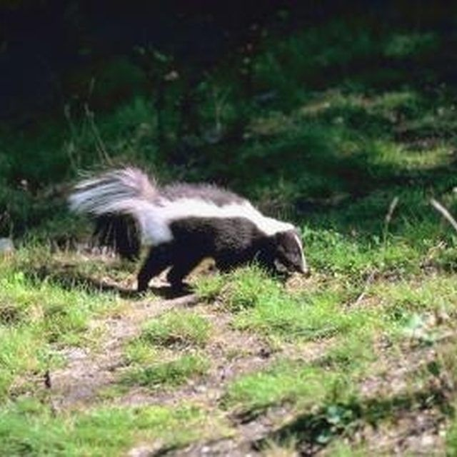 Striped skunks eat grubs, insects, eggs, frogs, mushrooms and fruits and berries.