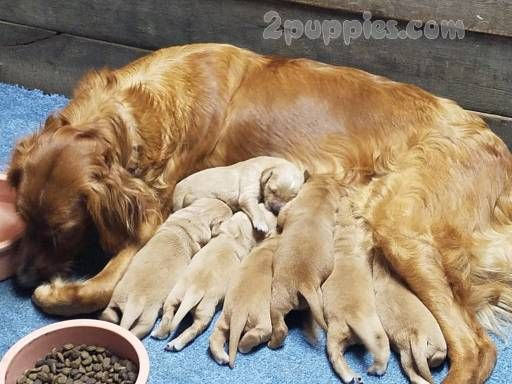 Find Your Dream Puppy Of The Right Dog Breed At Retriever Puppy