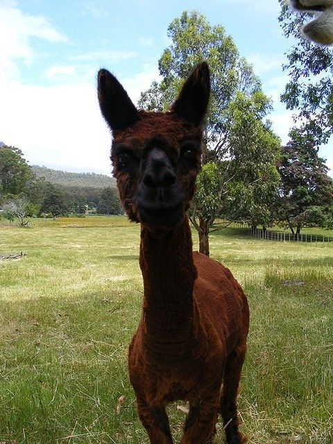Shaved Alpacas That Will Change The Way You Look At The World