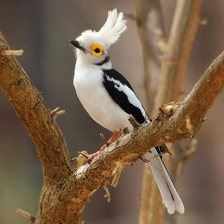 The White-crested Helmetshrike (Prionops plumatus)