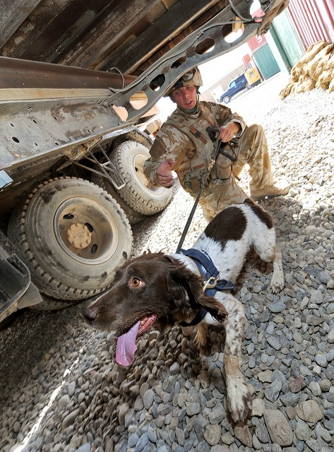 British Army working dogs, Chris Emberson searching a Flatbed