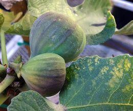 brown turkey fig   How to Grow a Brown Turkey Fig Tree (Photo: Jenna Winkeller/Demand ...