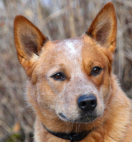 Australian Red Cattle Dog, such a beautiful face.