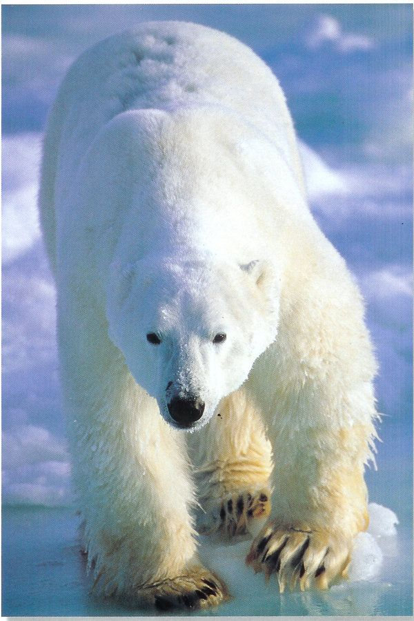 Did you know Despite the white, fluffy appearance of Polar Bears fur, it actually has black skin.