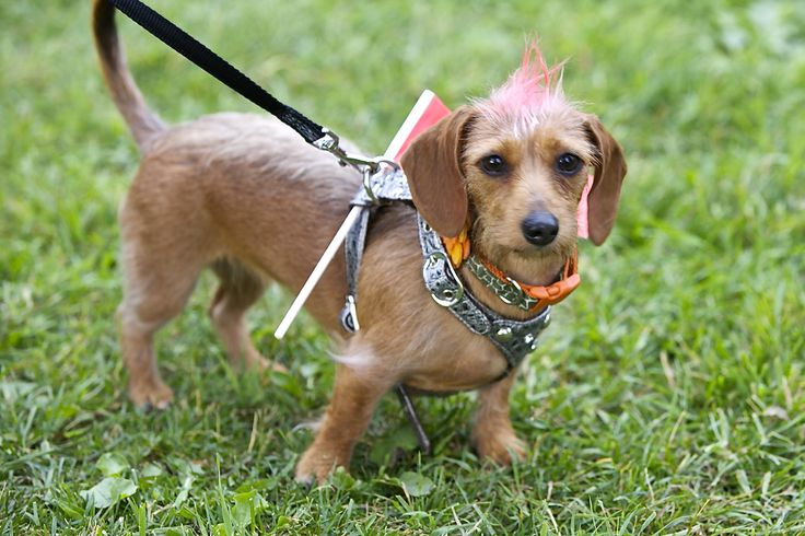 This little wired #Doxie #Dachshund is celebrating CanadaDay in a big way with her red #mohawk ! #FenelonFalls #KawarthaLakes   Photographer - #CorrieLee