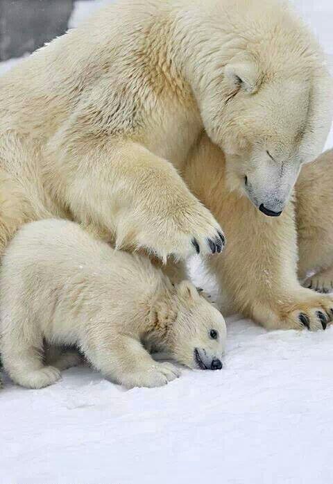 Ice bear, Thule, Greenland