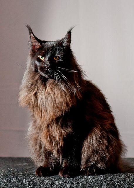 """Maine Coon Cat"" by Steve Hopkins Photography (shoppix) 