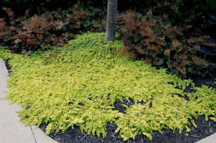 pfennigkraut für schattige gärten