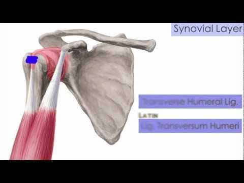 www.salmonellaplace.com  This is a tutorial/lecture on anatomy of the Shoulder Joint (Glenohumeral Joint) ... #shoulderanatomy