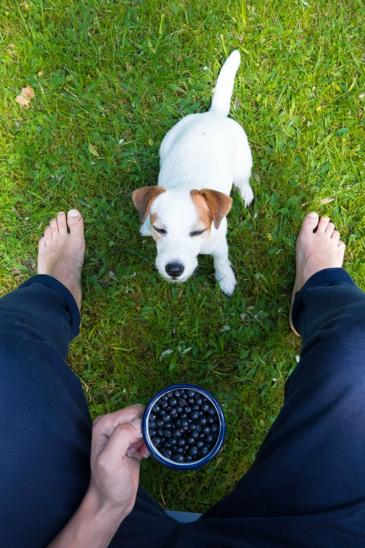 Puppy and her berries. Cutest Jack russel terrier, dog photography.