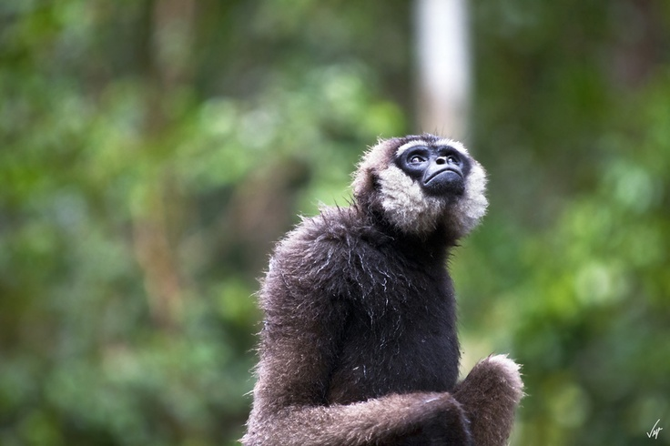 Gibbon, Borneo by Ferran Vega, via 500px