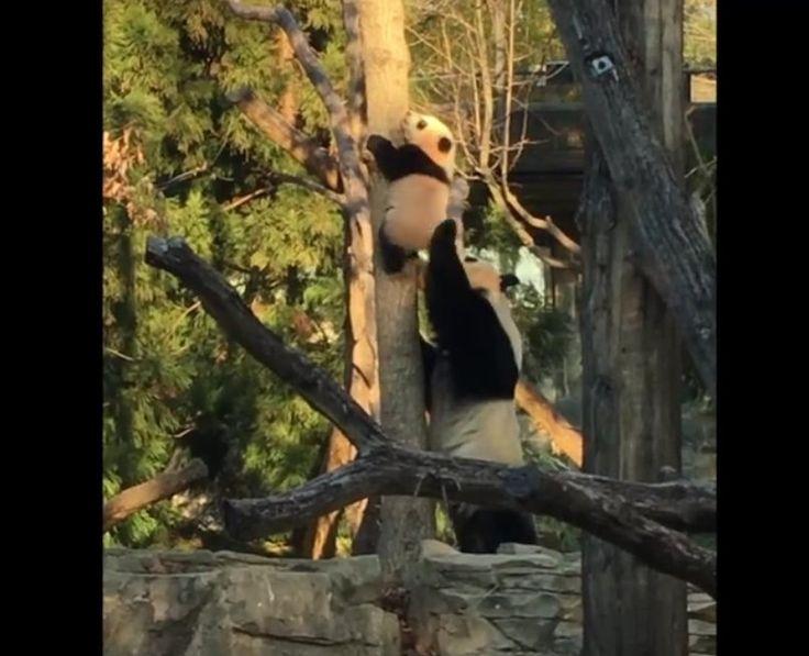 Panda wdrapała się na pierwsze drzewo, ale nie potrafiła zejść. Z pomocą przyszła jego matka