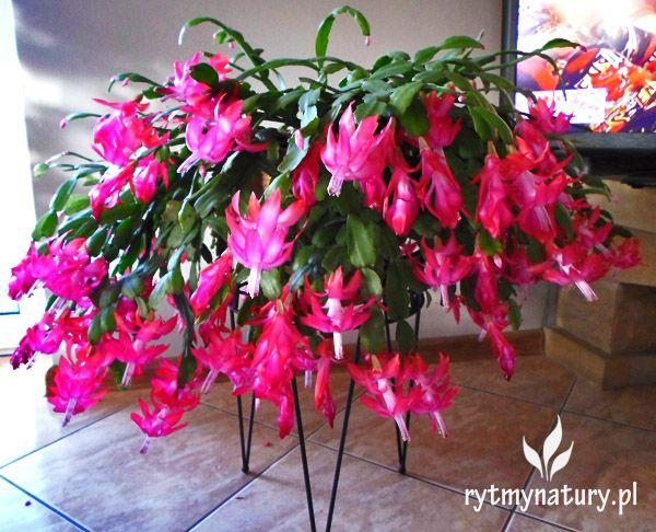 Grudnik Jak Uprawiac Aby Zakwitl Na Swieta Flower Decorations Flowers All Flowers