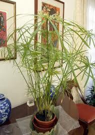 Papyrusplant - moest heel veel water hebben. In een accubak!