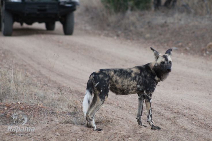 A wild dog sighting is very unique. Let our latest blog take you through one of our rangers stories of a great sighting.