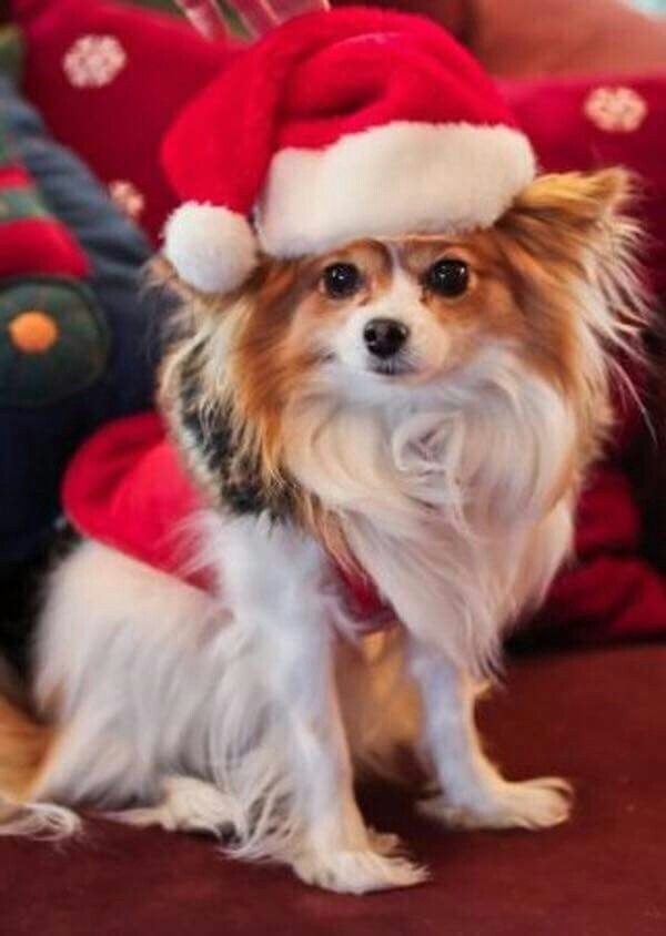 A MERRY LITTLE PAPILLON CHRISTMAS♡