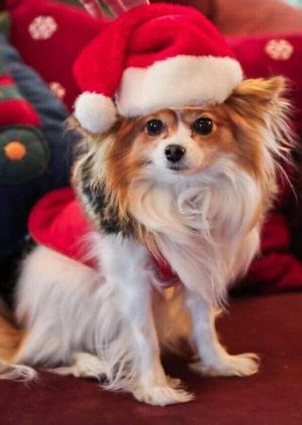 A MERRY LITTLE PAPILLON CHRISTMAS♡