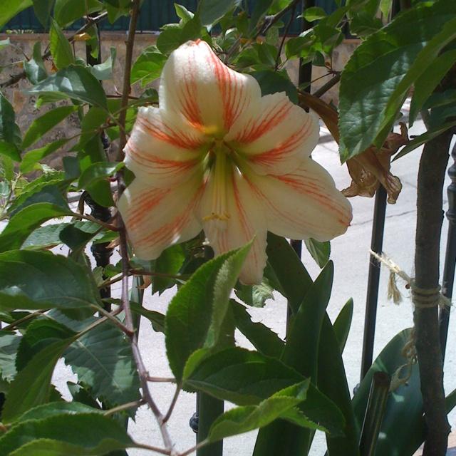 24 best images about amarilis on pinterest apple for Amarilis decoration
