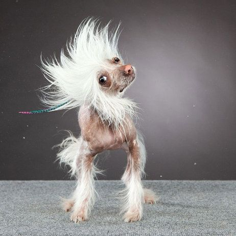 Shake it Chinese crested
