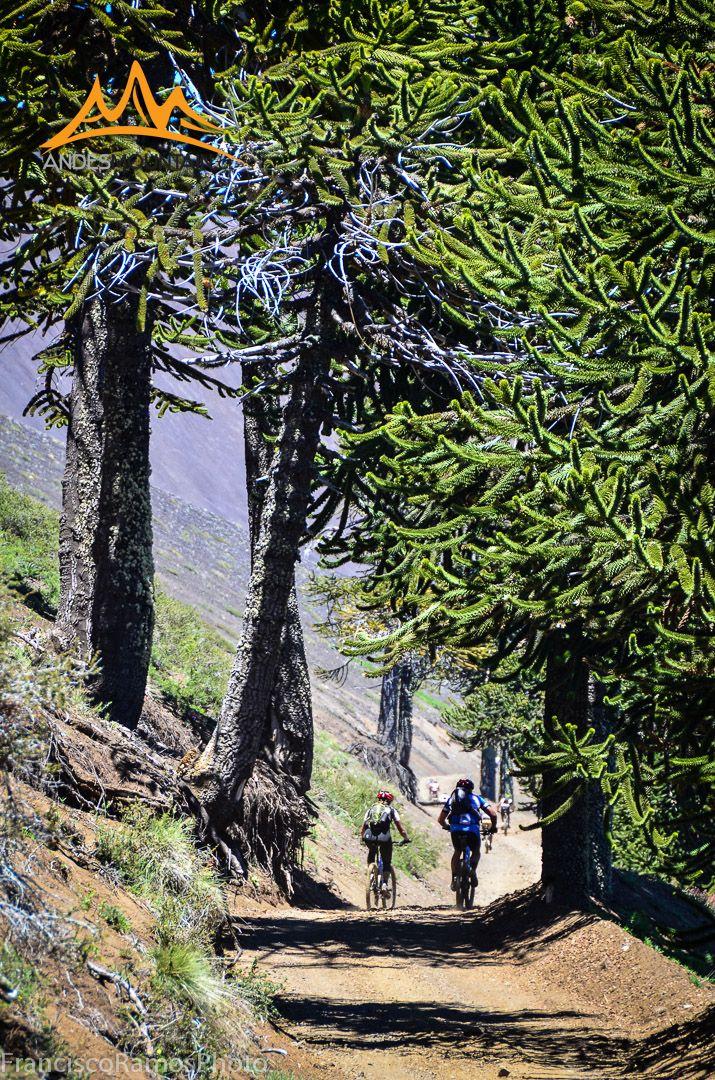 Mountain biking in Chile. Climbing Lonquimay mountain pass www.andesmountain.cl